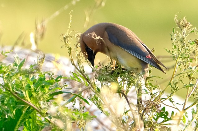 Cedar Waxwing Essex County Massachusetts copyright Kim Smith - 6 of 37