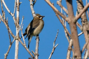 Cedar Waxwing Juvenile Essex County Massachusetts copyright Kim Smith - 30 of 37