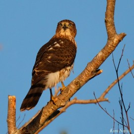 Coopers Hawk Essex County Massachusetts copyright Kim Smith - 27 of 37