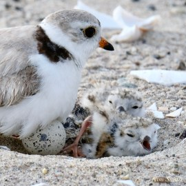 Piping Plover hatchlings 2020 and egg copyright Kim Smith