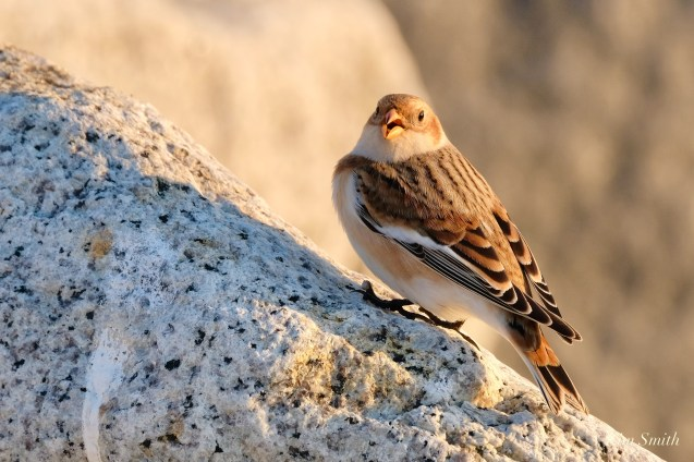 Snow Buntings Massachusetts copyright Kim Smith - 23 of 27