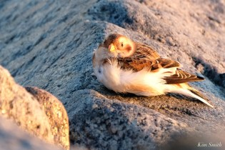 Snow Buntings Massachusetts copyright Kim Smith - 8 of 27