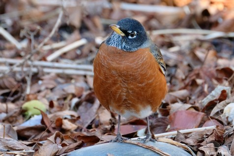 American Robin December Gloucester copyright Kim Smith - 2 of 5