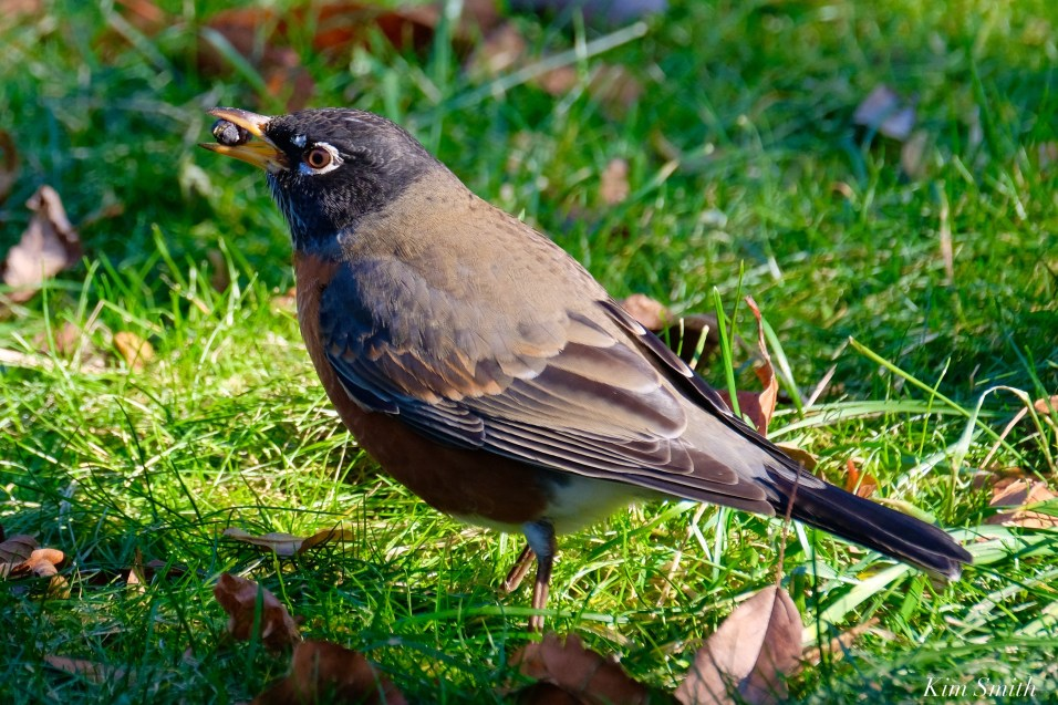 American Robin December Gloucester copyright Kim Smith - 5 of 5