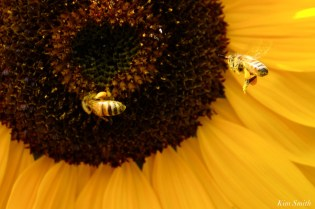 Honey Bees School Street Sunflowers Autumn Essex County copyright Kim Smith - 17 of 22