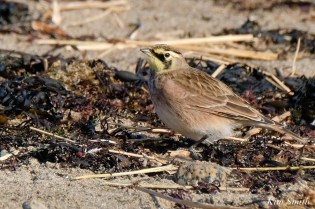 Horned Lark Essex County Massachusetts copyright Kim Smith - 19 of 21