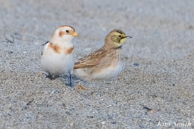Horned Lark, Snow Bunting Essex County Massachusetts copyright Kim Smith - 5 of 21
