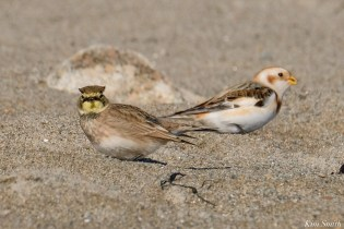 Horned Lark, Snow Bunting Essex County Massachusetts copyright Kim Smith - 8 of 21