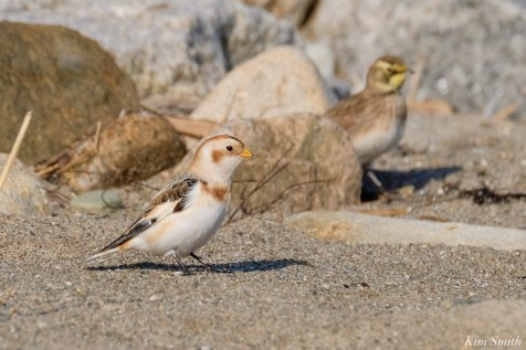Horned Lark, Snow Bunting Pipit Essex County Massachusetts copyright Kim Smith - 7 of 21