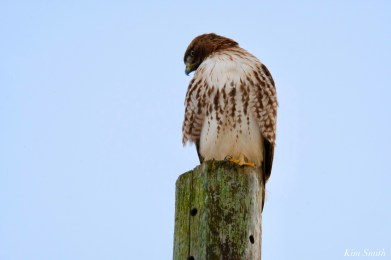 Red-tailed Hawk Crescent Moon copyright Kim Smith - 3 of 5