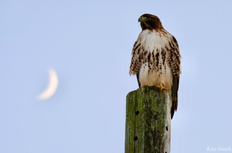 Red-tailed Hawk Crescent Moon copyright Kim Smith - 5 of 5