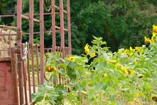 School Street Sunflowers Autumn Essex County copyright Kim Smith - 3 of 22