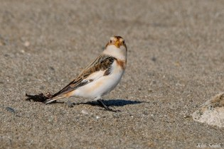 Snow Bunting Essex County Massachusetts copyright Kim Smith - 15 of 21
