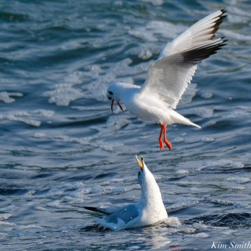Black-headed Ring-billed Gull Battle Gloucester Essex County Massachusetts copyright Kim Smith - 17 of 24