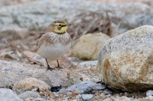 Horned Lark Male Eastern Point Essex Cpunty copyright Kim Smith - 9 of 9