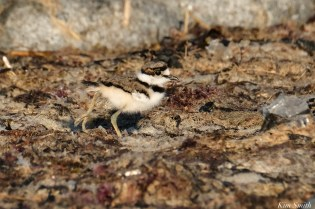 Killdeer Chick copyright Kim Smith peg