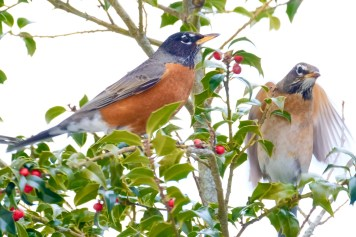 American Robin Winter Robin copyright Kim Smith - 5 of 14