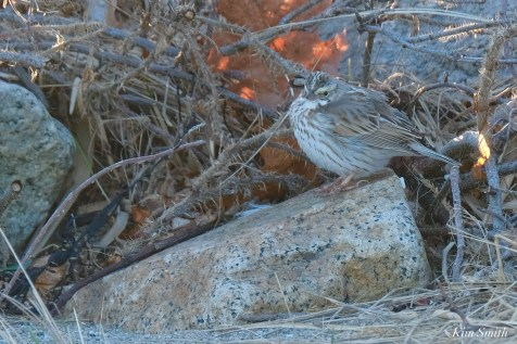 American Pipit Cape Ann Essex County copyright Kim Smith - 10 of 12