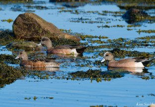 American Wigeon Essex County Massachusetts copyright Kim Smith - 2 of 16