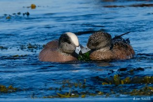 American Wigeon Male Female Essex County Massachusetts copyright Kim Smith - 5 of 16