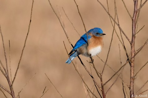 Bluebird Lovebirds Male Female Essex County copyright Kim Smith - 31 of 31