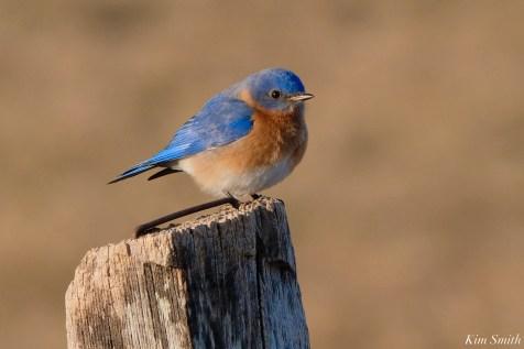 Bluebird Lovebirds Male Female Essex County copyright Kim Smith - 5 of 31