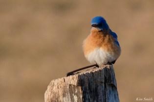 Bluebird Lovebirds Male Female Essex County copyright Kim Smith - 6 of 31