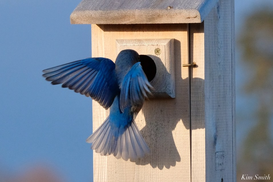 Bluebird Lovebirds Male Female Essex County copyright Kim Smith - 9 of 31