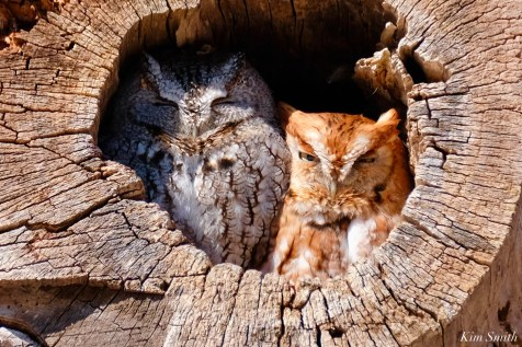 Eastern Screech Owl Red Gray Morph copyright Kim Smith - 2 of 15