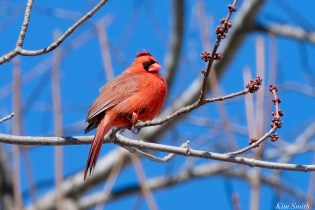 Northern Cardinal Male copyright Kim Smith - 3 of 15
