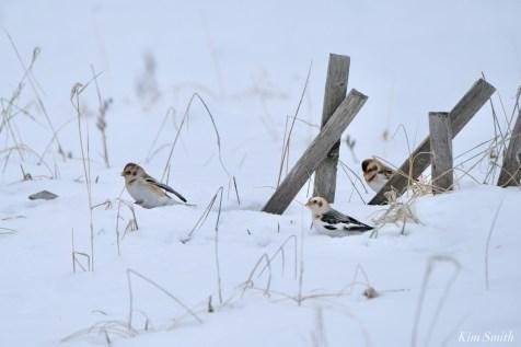 Snow Bunting Snowflakes Massachusetts copyright Kim Smith - 10 of 55