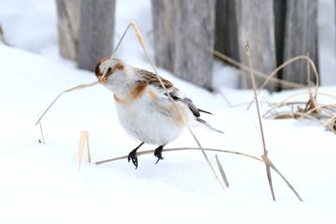 Snow Bunting Snowflakes Massachusetts copyright Kim Smith - 22 of 55