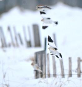 Snow Bunting Snowflakes Massachusetts copyright Kim Smith - 25 of 55