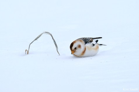 Snow Bunting Snowflakes Massachusetts copyright Kim Smith - 26 of 55