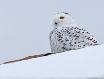 Snowy Owl Essex County copyright Kim Smith - 11 of 14