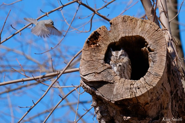 Tufted Titmouse Eastern Screech Owl copyright Kim Smith - 10 of 15
