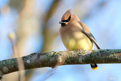 Cedar Waxwing Courtship New England Essex County copyright Kim Smith - 1 of 15