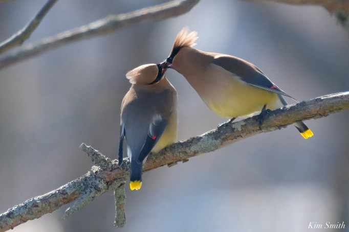 Cedar Waxwing Courtship New England Essex County copyright Kim Smith - 10 of 15