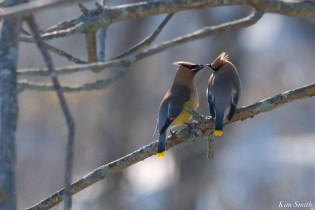 Cedar Waxwing Courtship New England Essex County copyright Kim Smith - 11 of 15