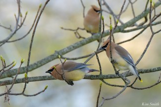 Cedar Waxwing Courtship New England Essex County copyright Kim Smith - 13 of 15