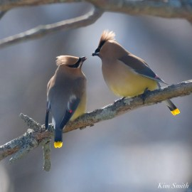 Cedar Waxwing Courtship New England Essex County copyright Kim Smith - 5 of 15