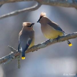 Cedar Waxwing Courtship New England Essex County copyright Kim Smith - 5 of 15