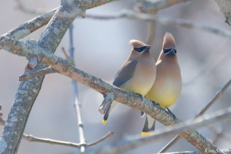 Cedar Waxwing Courtship New England Essex County copyright Kim Smith - 7 of 15