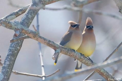 Cedar Waxwing Courtship New England Essex County copyright Kim Smith - 7 of 15