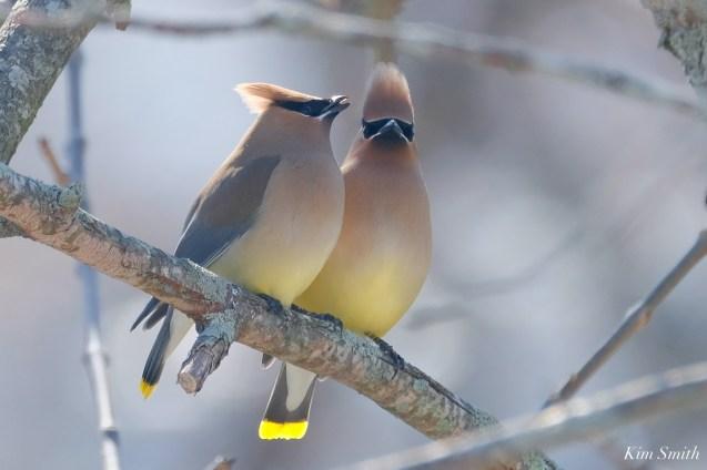 Cedar Waxwing Courtship New England Essex County copyright Kim Smith - 9 of 15