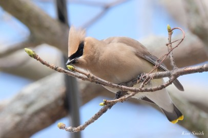 Cedar Waxwings Spring New England Essex County copyright Kim Smith - 11 of 12