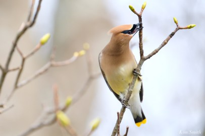 Cedar Waxwings Spring New England Essex County copyright Kim Smith - 4 of 12