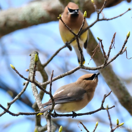 Cedar Waxwings Spring New England Essex County copyright Kim Smith - 8 of 12