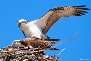 Osprey Courtiship Mating Massachusetts copyright Kim Smith - 10 of 24
