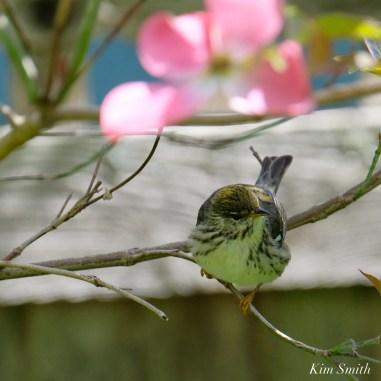 Blackpoll Warbler Female copyright Kim Smith - 2 of 8
